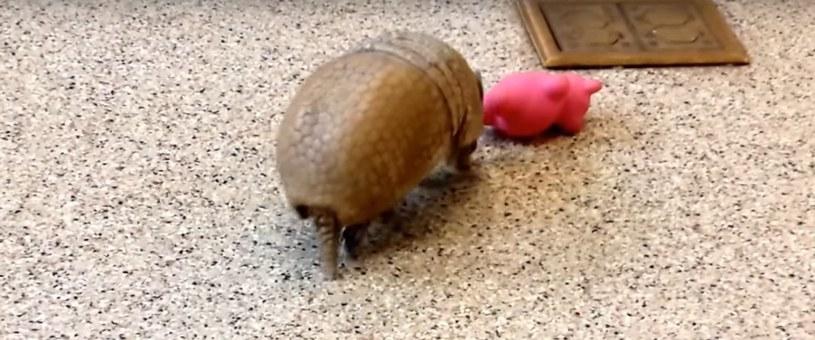 Zapoznanie się z nową zabawką /Animal Moments /YouTube
