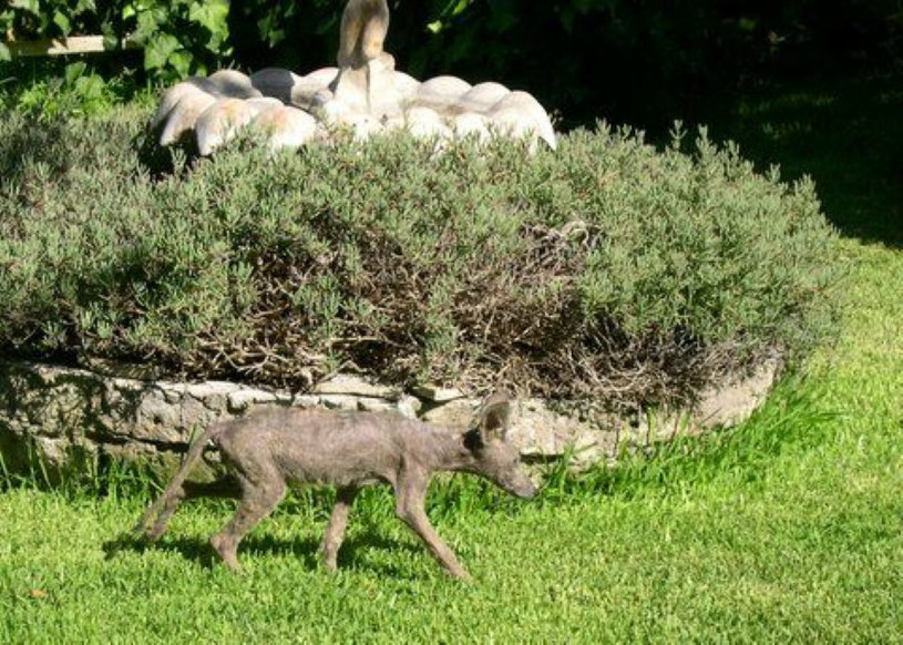 Zarażony świerzbem kojot /Wikimedia Commons /domena publiczna
