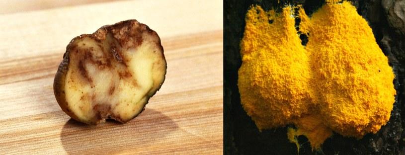 Zarażony ziemniak (z lewej) i wykwit zmienny - fulgo septica /INTERIA.PL