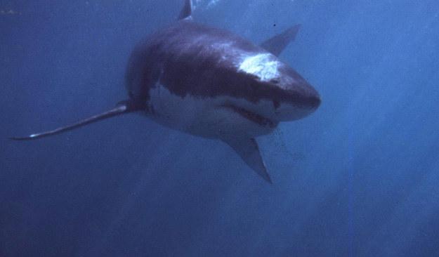 Żarłacz biały był odpowiedzialny za atak na australijskiego surfera fot. Theo Ferreira /AFP