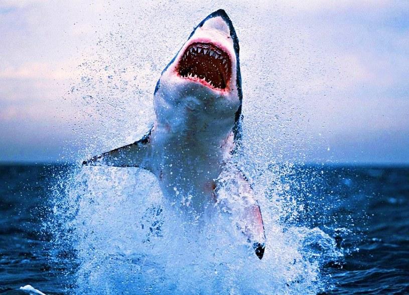 Żarłacz biały tak naprawdę nie żywi się ludzkim mięsem /East News