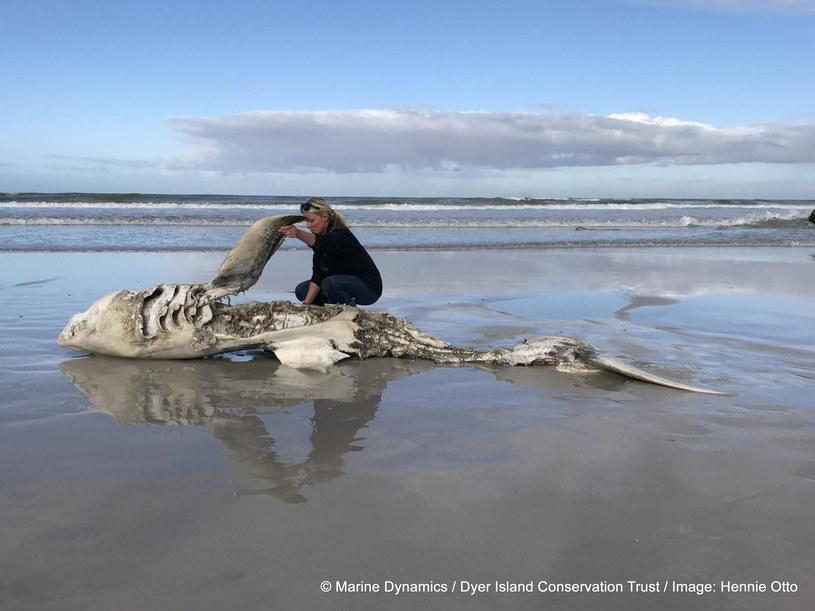 Żarłacz biały wyrzucony na brzeg. Fot. Hennie Otto/Marine Dynamics/Dyer Island Conservation Trust) /materiały prasowe
