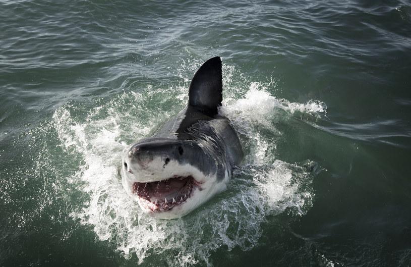 Żarłacz biały, zdjęcie ilustracyjne / lakowatz /123RF/PICSEL