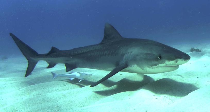 Żarłacz tygrysi, który ugryzł 20-latka miał 2-2,5 metra długości /Wikimedia Commons /domena publiczna