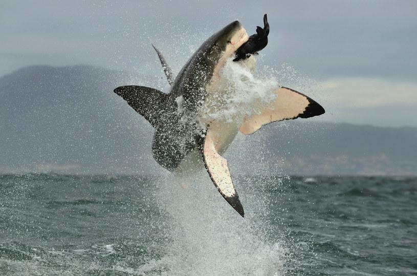Żarłacze białe też mogą być ofiarami ataków /123RF/PICSEL