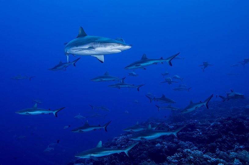 Żarłacze tępogłowe często pokonują tysiące mil w słodkich wodach /materiały prasowe