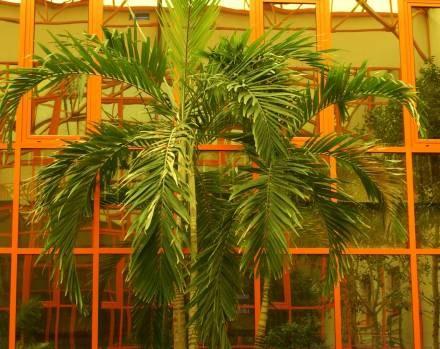 Żarowska palma kalifornijska. /materiały prasowe