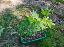 """Zasadził w lesie marihuanę. Podpisał jako """"seler"""" i """"rozmaryn"""""""