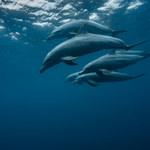 Zaskakujące odkrycie z Australii. Delfiny używają... imion