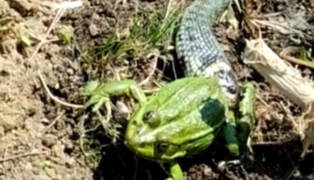 Zaskroniec atakuje żabę wodną /