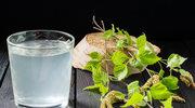 Zastrzyk witalności dla organizmu, czyli sok z brzozy