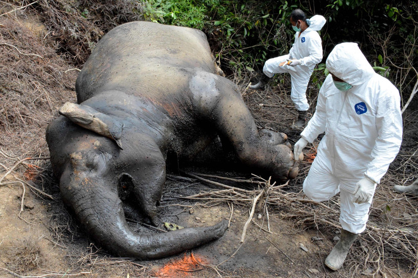 Zatrucia słoni - których wędrówki uprzykrzają życie rolnikom - nie są niestety niczym nowym ani w Afryce, ani w Azji. Tym razem przyczyna zgonów jest jednak zupełnie inna (zdjęcie ilustracyjne) /CEK MAD /East News