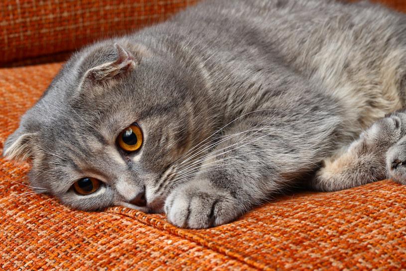 Zatrucie u kota może objawiać się apatią /123RF/PICSEL