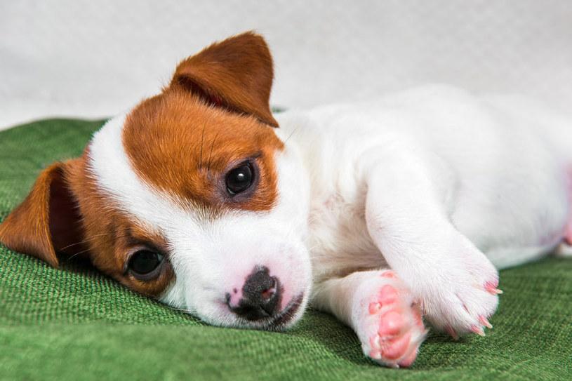 Zatrucie u psa może objawiać się drżeniem, wymiotami i apatią /123RF/PICSEL