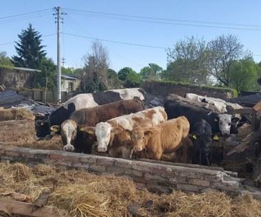 Zawaliła się stodoła. W środku było stado krów