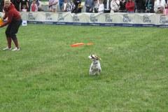 Zawody psiego frisbee we Wrocławiu
