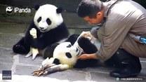 Zawzięta panda nie chce oddać kocyka