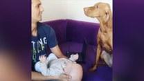 Zazdrosny pies też chce całować nowego członka rodziny