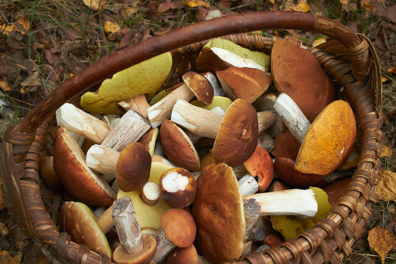 Zbieraj tylko te grzyby, które znasz /123RF/PICSEL