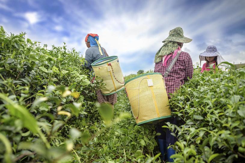 Zbieranie liści herbaty /©123RF/PICSEL