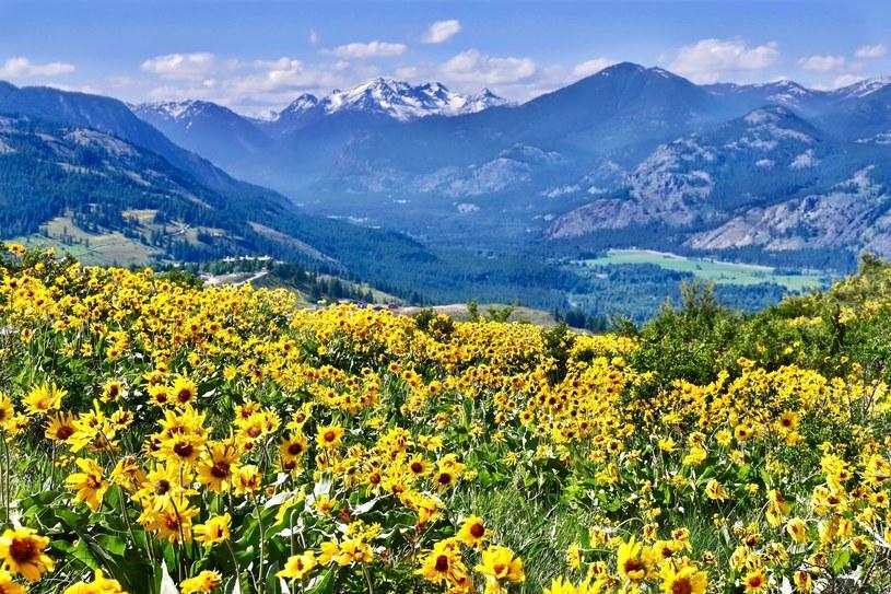 Zbiór arniki górskiej, występującej dziko na górskich łąkach położonych powyżej 800 metrów n.p.m., przypada pomiędzy 1 czerwca a 20 lipca i jest możliwy tylko we Francji /123RF/PICSEL