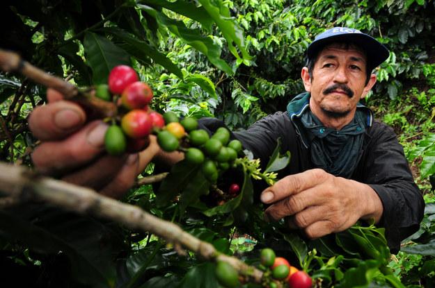 Zbiór kawy w Kolumbii /Neil Palmer (CIAT) /Materiały prasowe