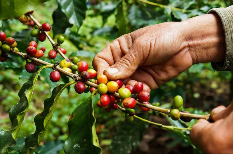 Zbiór kawy /©123RF/PICSEL