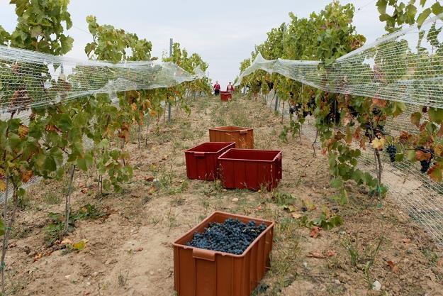 Zbiór winogron w jedynej w Polsce samorządowej winnicy w miejscowości Zabór koło Zielonej Góry /PAP