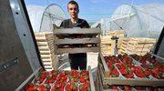 Zbiory truskawek w krainie fiordów