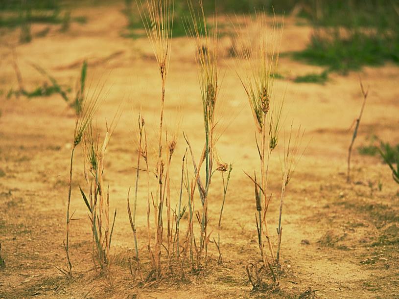 Zboże na polu dotkniętym suszą /rdonar/easyfotostock/Eastnews /East News
