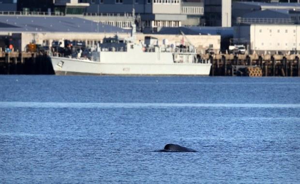 Zdążyć przed manewrami NATO: W Szkocji trwa ewakuacja wielorybów