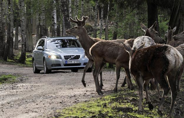 Zderzenia z dzikimi zwierzętami mogą być niebezpieczne /