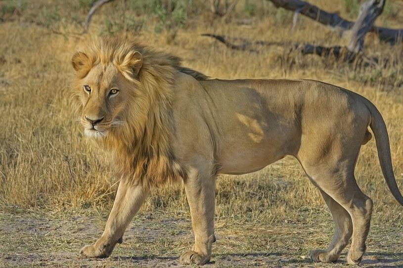 Zdj. ilustracyjne/ Troje dzieci zostało zabitych przez lwy w pobliżu rezerwatu dzikiej przyrody Ngorongoro w Tanzanii /designerpoint /pixabay.com