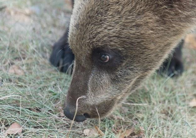Obudziły się niedźwiedzie. Mogą być groźne