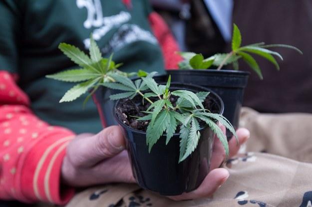 Lekarze: Nie można powiedzieć, że marihuana leczy nowotwory