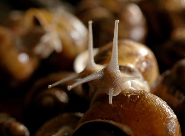 Szukają lewoskrętnego ślimaka. Może Ty go widziałeś?