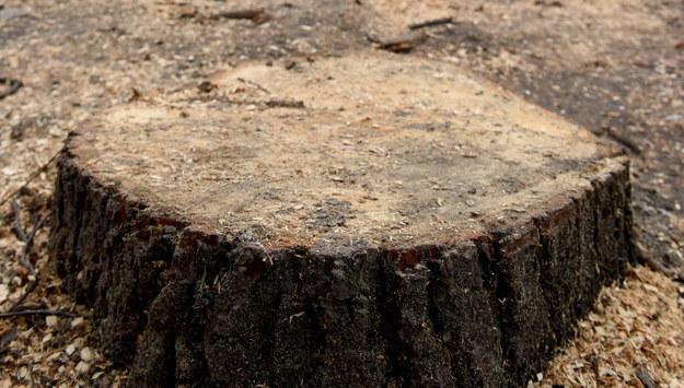 Powstrzymano wycinkę drzew w centrum Pruszkowa