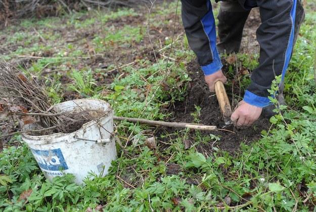 Kielce: Prezydent miasta zakazał... sadzenia drzew