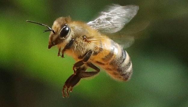 """Neonikotynoidy szkodliwe nie tylko dla pszczół. """"Nie są także bezpieczne dla ludzi"""""""