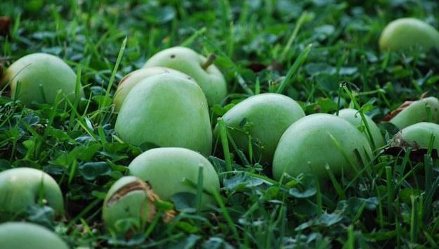 Sadownicy niezadowoleni z interwencyjnego skupu jabłek