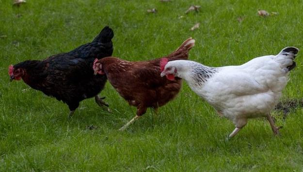 KE porozumiała się z Ukrainą ws. kurczaków. Może to uderzyć w polskich producentów