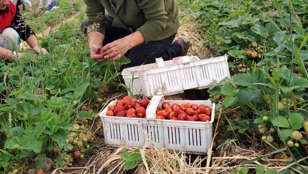 Jedziesz zbierać truskawki w Holandii? Musisz to wiedzieć