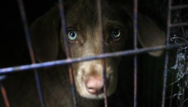 Ponad 13 tys. psów miesięcznie jest tu zabijanych. Przez zapotrzebowanie na ich mięso