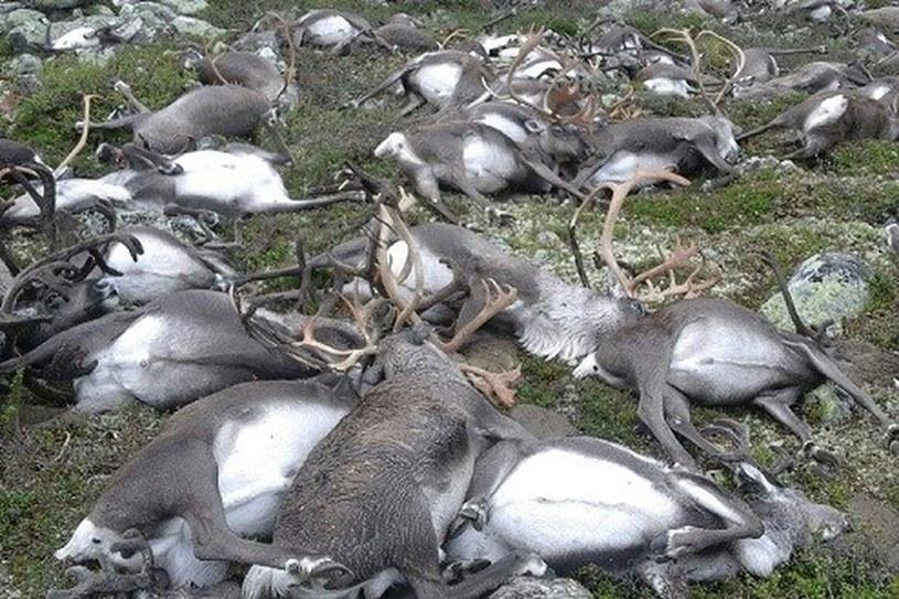 Zdjęcia martwych reniferów obiegły świat. To pierwszy taki przypadek w Norwegii /East News