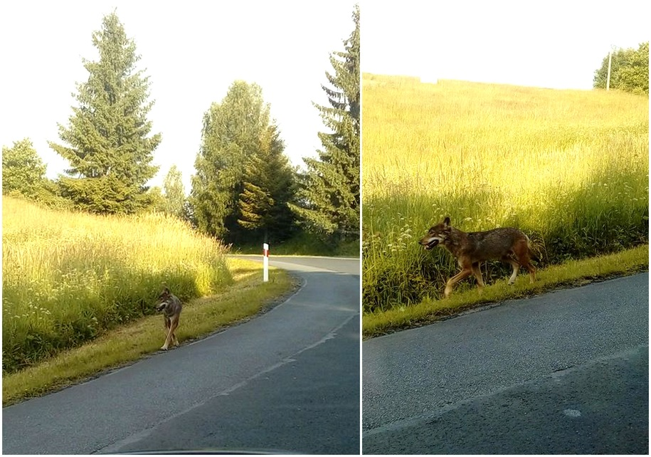 Zdjęcia wilka zrobione w okolicy miejscowości Przysłup /foto. Teresa Sawińska-Wronowska /Gorąca Linia RMF FM /