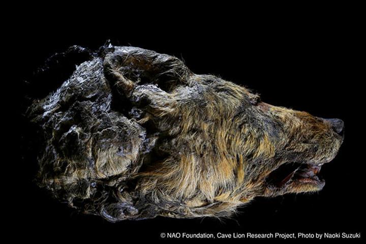 Zdjęcia znalezionej głowy wilka autorstwa japońskich naukowców /materiały prasowe