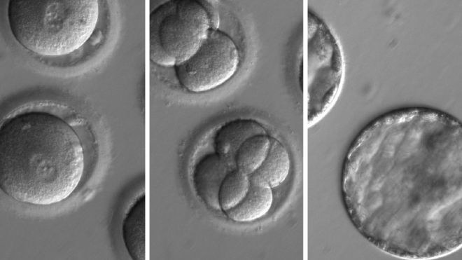 Zdjęcie genetycznie zmodyfikowanych embrionów /Fot. Oregon Health & Science University /materiały prasowe
