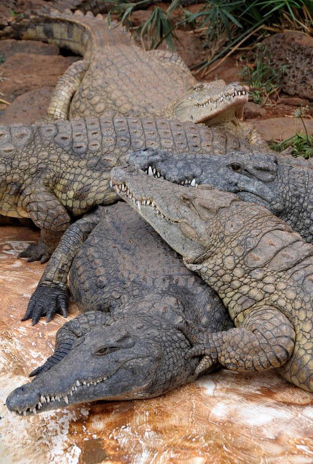 Plaga krokodyli. Uciekają z farm