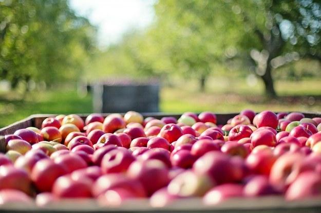Nieprawidłowości przy interwencyjnym skupie jabłek. PO chce pilnej kontroli NIK