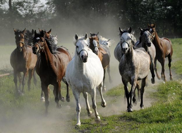 150 koni wystąpi w narodowym pokazie w Janowie Podlaskim
